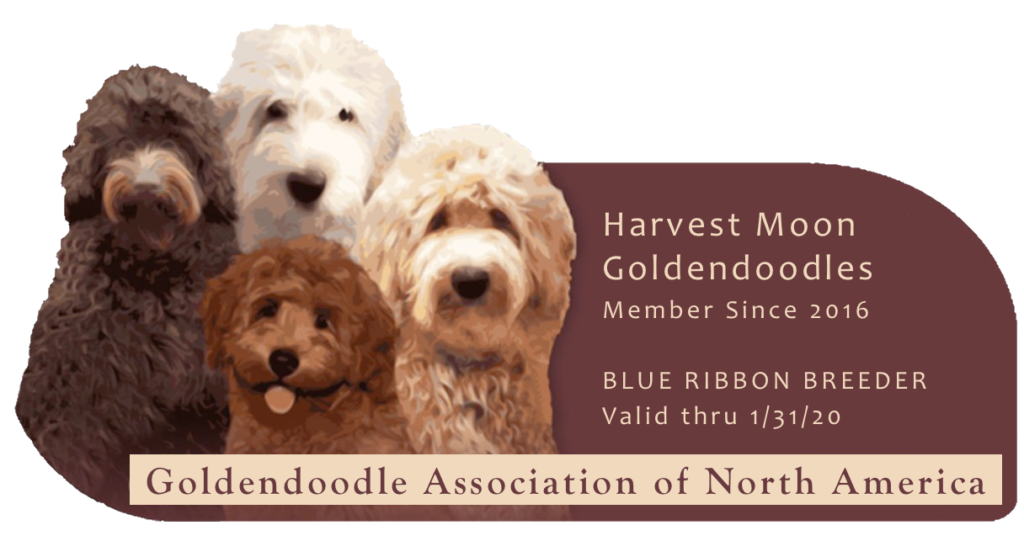 harvest moon goldendoodles – Goldendoodles & Mini-Goldendoodles